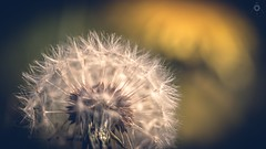 Hints of the Past (Augmented Reality Images (Getty Contributor)) Tags: flower macro nature sunshine fruit canon scotland spring soft bokeh perthshire seed dandelion spikey