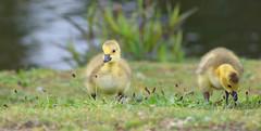 Two tiny Canadians (cuppyuppycake) Tags: green bird nature animal nikon outdoor canadian goose gosling honk d7200