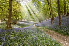 Bluebells (Danny Birrell) Tags: flowers trees light sun flower nature bluebells canon landscape woods lakedistrict tamron tamron1735 canon5dmkii