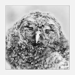 """No Photo please !!!"" (Alcosinus   ON-OFF ) Tags: bw nature square noiretblanc owl chouette juvenil carre nikond90 alcosinus"