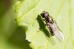 Cheilosia semifasciata / Vetplantgitje (peter.lindenburg) Tags: leiden hoverfly syrphidae zweefvlieg stevenshof cheilosiasemifasciata vetplantgitje