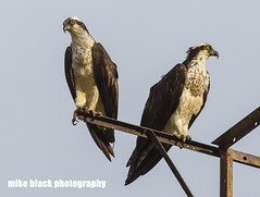 Osprey Pair Canon 5Ds + Canon 600mm IS II (Mike Black photography) Tags: new sky bird mike nature canon lens is big body year birding nj shore jersey l usm osprey 600mm 5ds