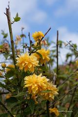 small spring flowers Test Nikon D750 / Tamron 90mm Macro 2.8 VC (F004) + Filter Hoya HMC UV (fredpot1963 merci pour les 7.3 Millions vues et pl) Tags: flowers test macro spring nikon uv small filter d750 28 tamron 90mm vc hmc hoya f004