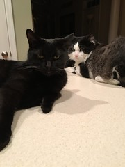 My babies :) (ShanMcG213) Tags: cats home kitchen ava cat blackcat joey cina blackandwhitecat lazycats catsonthecountertop