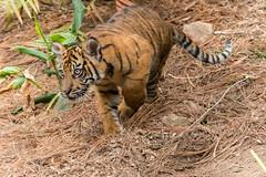 Debbie ready to pounce on mom! (ToddLahman) Tags: baby cat canon teddy tiger tigers debbie sumatrantiger joanne safaripark canon100400 tigercub babytiger tigertrail sandiegozoosafaripark babysumatrantiger canon7dmkii