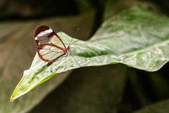 Glasswinged butterfly (explored) (Juergen Huettel Photography) Tags: wow butterfly wing schmetterling waldgeist gretaoto glasflgler glasflgel glasswinged