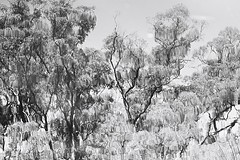 Reflected Trees (matt_axisa) Tags: trees blackandwhite bw black reflection tree art rural canon reflections photography eos countryside photo blackwhite artistic country australian australia sharp 600 60mm gumtree canoneos f28 lallal gumtrees countryvictoria 60mmmacro countryaustralia 60mmmacrolens ruralvictoria 60mmlens canon600d eos600d canoneos600d