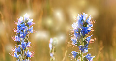 Echium vulgare L (augustynbatko) Tags: flowers summer flower nature meadow wildflower