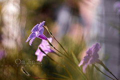 .:: Simple Story ::. (omjinphotography) Tags: flowers plant nature garden lights flora purple outdoor depthoffield backlit bookcover photoart plasticlens morninglights 50mmlens diagonalcomposition theruleofthirds pekalongan naturelights canon1100d rebelt3 omjinphotography