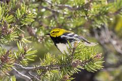 Black-throated Green Warbler, Setophaga virens (Bill Bouton) Tags: aves songbird woodwarbler wildbird passerine parulidae newworldwarbler passeriform perchngbird neotropcialmigrant