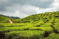 Tea field at cameron highland Malaysia... (abusen) Tags: malaysia cameronhighlands greenfield teaplantation teaplants cameronhighland travelphoto traveltheworld travelphotographer d7200 travelingram uploaded:by=flickstagram d7200nikon instagram:photo=122906433470483203715033002 d7200photography instagram:venuename=cameronhighlands2cpahang2cmalaysia instagram:venue=214928781