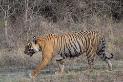 Morning Stroll (Deepu Cyriac) Tags: travel nature animals wildlife tiger bigcat karnataka westernghats bengaltiger bandipur stripedcat bandipurwildlifesanctuary indianforest royalbengaltiger bandipurnp bandipurtr