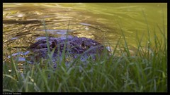 peek-a-boo (Neil Tackaberry) Tags: animal gardens tampa florida reptile alligator neil stalking buschgardens busch tackaberry neiltackaberry