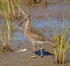 Short Billed Dowitcher (tresed47) Tags: 2016 201605may 20160525newjerseybirds birds canon7d content dowitcher folder newjersey peterscamera petersphotos places shortbilleddowitcher takenby us waders wetlandsinstitute