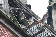 IMG_6850  Juvenile (gipukan (rob gipman)) Tags: holland tower netherlands eos fly toren nederland rover 7d falcon hunter juvenile amersfoort jong jager slechtvalk valk olv peregrinefalcon vliegen falcoperegrinus canon100400l langejan preybird kenkopro