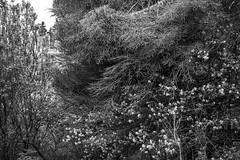 dead spruce and emerging floral forms, behind the meadow, Monhegan, Maine, Nikon D40, nikon nikkor 55mm f-3.5, 5.21.16 (steve aimone) Tags: spruce floral forms emerging meadow monhegan monheganisland maine monochrome blackandwhite density nikond40 nikonnikkor55mmf35 nikonprime primelens