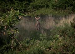 Day 11 (2): Urban wildlife (arripay) Tags: nature bay harbour wildlife reserve deer dorset trust poole upton sika lytchett