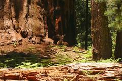 DSC04903 (deerhake.11) Tags: deer sequoianationalpark