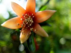 Stamen Crazy (MacroMarcie) Tags: flower macro fuji dof bokeh stamen x20 pomagranate hbw bokehwednesday
