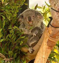 DSC_3388 (d.r.garvin) Tags: koala sandiegozoo babyanimal