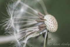Sad Dandelion (Dave Denby) Tags: garden weed seed dandelion