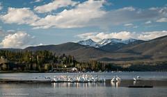 Pelicans on Shadow Mountain Lake (Vironevaeh) Tags: mountain lake mountains west pelicans nature water birds outdoors scenery colorado scenic americanwest theamericanwest thewest shadowmountainlake
