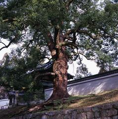 Old Tree (Mel Enc) Tags: travel winter 120 6x6 mamiya tlr japan analog mediumformat square iso100 kyoto slide 120film velvia squareformat transparency fujifilm v600 twinlensreflex colorslide higashiyama transparencyfilm mamiyasekor filmslide 80mmf28 c330f