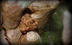 Poltys illepidus (dustaway) Tags: nature australia camouflage nsw arthropoda arachnida orbweaver lismore araneae araneidae araneomorphae australianspiders northernrivers crypsis poltys araneinae treestumpspider poltysillepidus