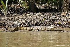 Caiman (pniselba) Tags: rio river costarica selva alligator jungle caiman tortuguero reptil parquenacional jungla parquenacionaltortuguero