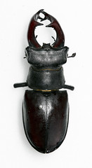 Lucanus cervus 6 (Chris_Moody) Tags: animalia arthropoda coleoptera insecta lucanuscervus lucanidae lucanus scarabaeoidea taxonomy:class=insecta taxonomy:kingdom=animalia taxonomy:order=coleoptera taxonomy:phylum=arthropoda taxonomy:superfamily=scarabaeoidea taxonomy:binomial=lucanuscervus taxonomy:genus=lucanus taxonomy:family=lucanidae taxonomy:species=cervus