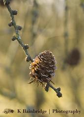 Week 8 - Light (CJ,MJ&AddiesMummy (Katie)) Tags: light sun nature golden branch bokeh fir lit