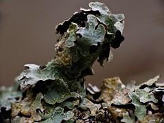 Fruticose Lichen (John B G catching up :- )) Tags: winter tree scotland fungus damaged macrophotography leafshaped thesmaglen fruticoselichen glenalmond fujifilmfinepixs100fs photosyntheticpartner symbioticorganism compositeorganisms