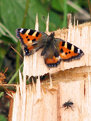 Double.. ( Annieta ) Tags: holiday nature canon butterfly denmark natuur powershot papillon s2is mariposa danmark augustus allrightsreserved kleinevos denemarken 2011 annieta abigfave vlidner usingthisphotowithoutpermissionisillegal