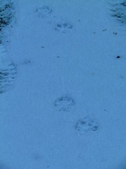 coyote, fox, bobcat prints?