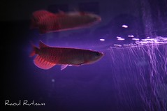 Arowana RTG Reflection (Raoul Rutnam) Tags: red wallpaper fish aquarium golden dragon tail tanks rtg arowana