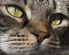 cat (BarbaraWilli) Tags: portrait eye closeup cat cateye barbarawilli