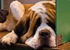 St Bernard - Crufts 2012 (Photo Gal 2009) Tags: relax relaxing canine wait dogshow saintbernard stbernard 2012 nec hugedog birminghamnec crufts dogbreed largedog dogwaiting nationalexhibitioncentre dogbench highqualitydogs highqualityanimals dogshow2012 crufts2012 ukdogshow ukdogshow2012 nec2012 nationalexhibitioncentre2012 dognec