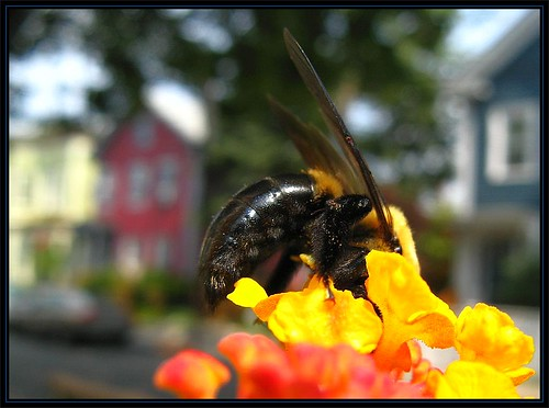 IMG_3225 Happened to Bee in the Neighborhood 8-21-11