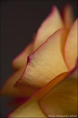 (Marjo1963) Tags: flowers rose petals roos blaadjes bloemen 022012