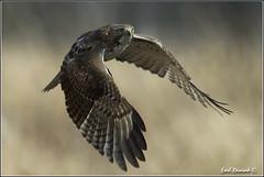 "Red-Tailed Hawk (20120313-0560) (Earl Reinink) Tags: ontario canada bird art nature birds photography landscapes nikon hawk flight canadian niagara earl bif ""bird ""nikon ""niagara photography"" ""birds ""nature ontario"" ""landscape ""fine ""earl peninsula"" flight"" lenses"" hawk"" ""redtailed d3"" ""hawk d3s"" reinink"""