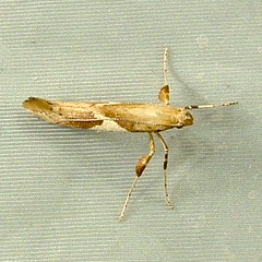 Caloptilia stigmatella - Leaf Blotch Miner 0639 (willapalens) Tags: leaf moth dna wa miner bold willapa blotch pacificcounty 0639 caloptilia stigmatella
