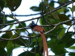 Asian Paradise Flycatcher, Maskeli Oya family park resort (MikeTnT) Tags: srilanka maskeliya
