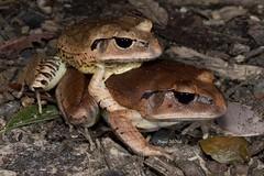 mixophyes fasciolatus Great Barred Frog (Gus McNab) Tags: great amphibian frog frogs amphibians herp herps barred herpetology amphibia mixophyes fasciolatus myobatrachidae myobatrachid myobatrachids