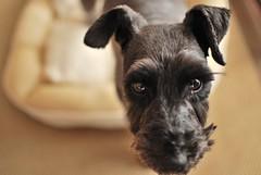 vivo straight face 2 (ugopapa) Tags: dog cute miniature schnauzer 犬 シュナウザー highqualityanimals