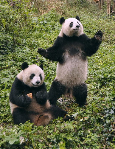 Standing Panda beside Sitting Panda
