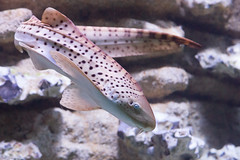 Requin Lopard-Zbre, Zebra Shark (Zed The Dragon) Tags: ocean wild mer fish paris speed french geotagged effects photography aquarium shark photo flickr minolta photos sony images full frame zebra tropical getty porte requin fullframe alpha dslr postproduction franais sal zed gettyimages poissons 2012 francais lightroom effets lopard zbre raie 24x36 dore semifasciata a850 fasciatum stegostoma triakis sonyalpha sharck flickraward varium chirurgiens dslra850 alpha850 zedthedragon mosaique2012a