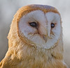 Am I not looking lovely? (Roland B43) Tags: birds owl barnowl birdsofprey fantasticnature mygearandme mygearandmepremium mygearandmebronze mygearandmesilver mygearandmegold mygearandmeplatinum mygearandmediamond allofnatureswildlifelevel1 allofnatureswildlifelevel2 allofnatureswildlifelevel3 allofnatureswildlifelevel4 allofnatureswildlifelevel5 allofnatureswildlifelevel8 allofnatureswildlifelevel6 allofnatureswildlifelevel7 allofnatureswildlifelevel9 allofnatureswildlifelevel10