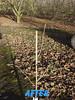 3115 filbert pruning (growing hazelnuts) Tags: pruning filberts