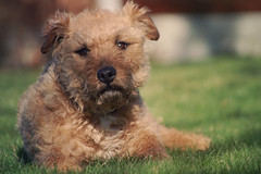 20/365 (hayleylouise--) Tags: dog sun cute grass jack one photo bill day russell sad bokeh border fluffy sunny terrier angry 365 grumpy mongrel lakeland mardy project365