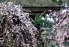 Weeping plum blossoms (©Marie Eve K.A.❦ (away..)) Tags: park travel pink blur flower colour tree nature japan zeiss garden spring kyoto branch dof bokeh f14 85mm olympuspen ume 2012 planar ep2 plumblossoms japaneseapricot carlzeiss plumflowers kitanotenmangushrine prunusmume 枝垂桜 weepingplumblossoms pencarl